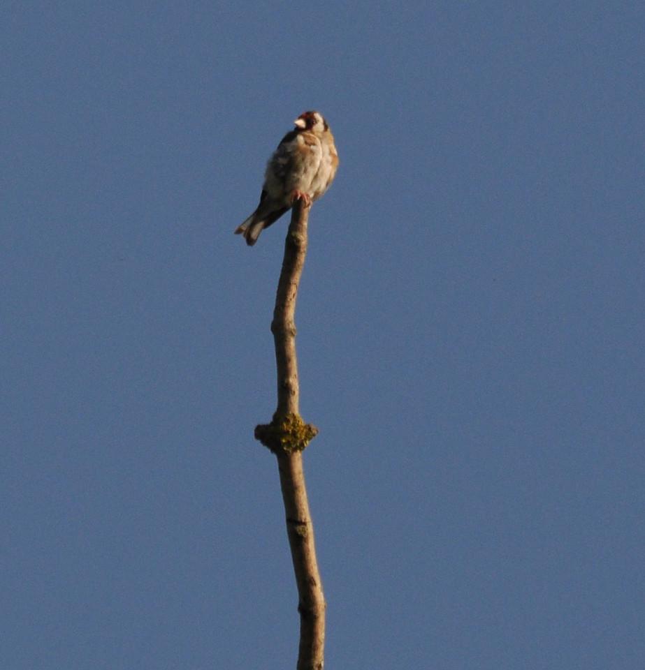 Goldfinch Wilstone Sept 2011