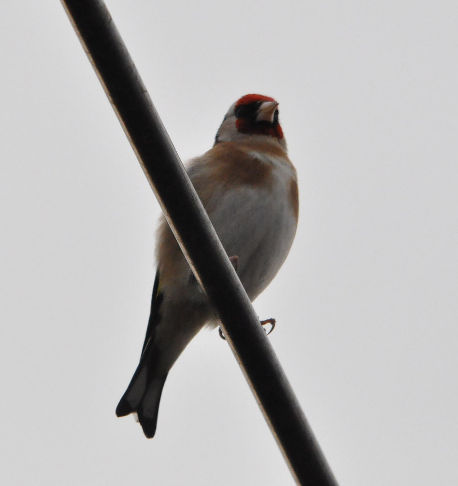 Goldfinch Marsworth April 2011