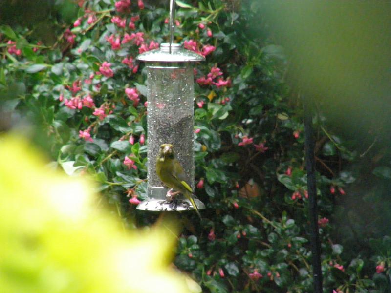 Greenfinch Berko May 2007