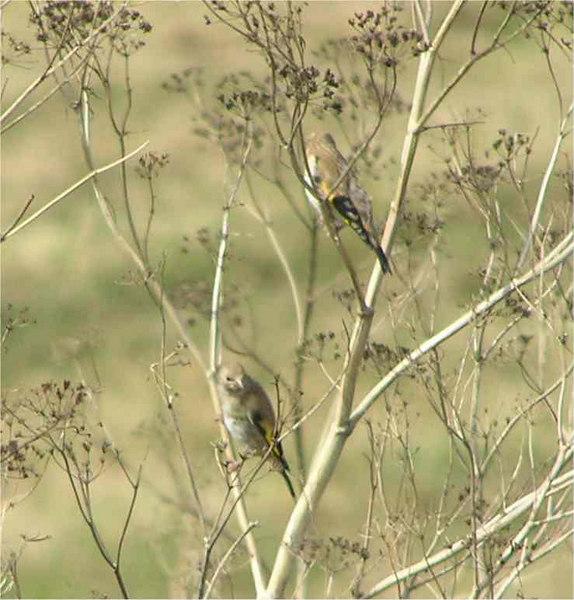 Goldfinch Otterton Sept 2006