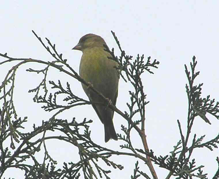 Greenfinch Cotswold Mar 2005