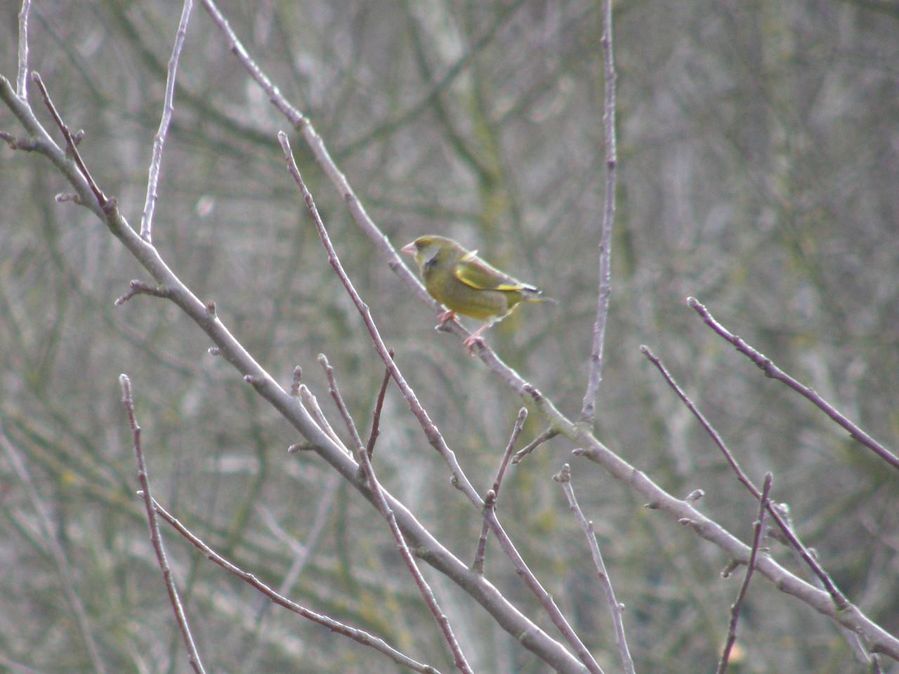 Goldfinch Minehead Apr 2009