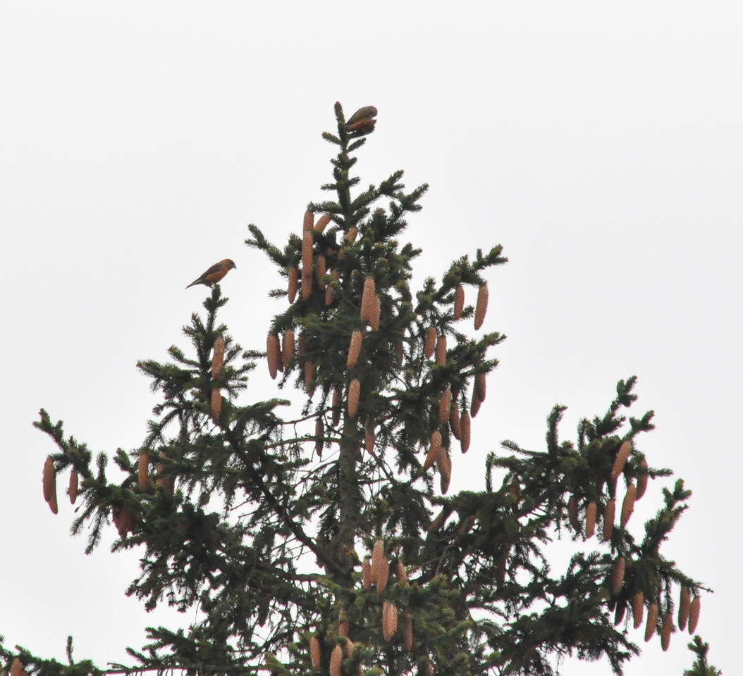 Common Crossbill female feeding with male Wendover Jan 1 2010