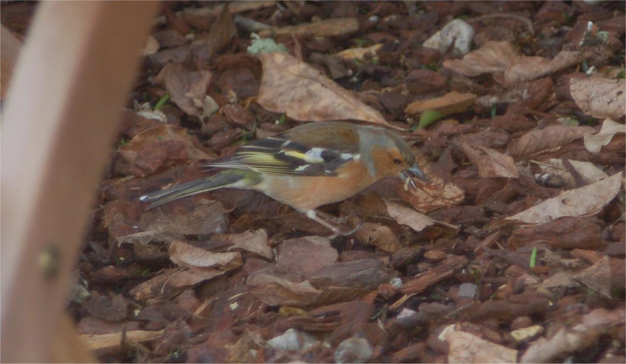 Chaffinch Newforest Mar 2007