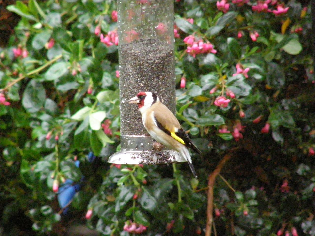 Goldfinch Berko May 2007