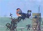 Bullfinch Thame Dec 2005