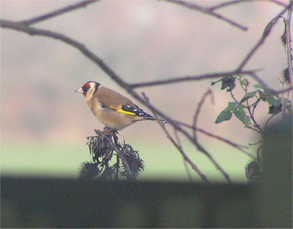 Goldfinch Standford Pit Dec 2006