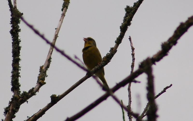 Greenfinch May 2007