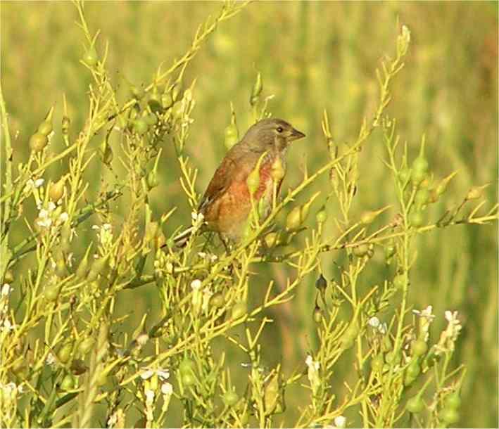 Linnet Wetlands July 2005