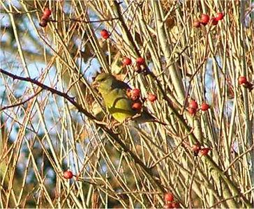 Greenfinch Wokingham Dec 2005