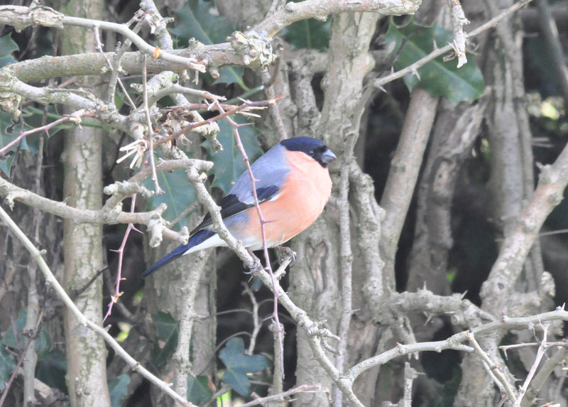 Bullfinch Ripon Dec 25 2011