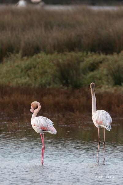 Flamingo - Ria de Aveiro