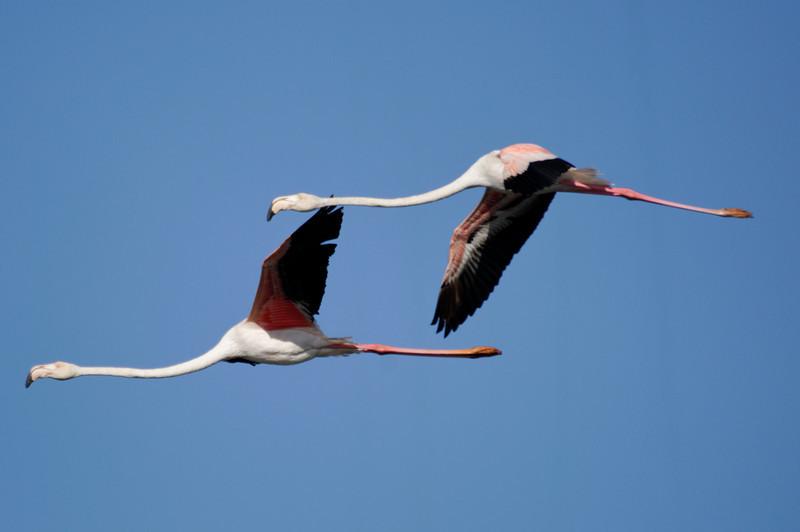 Flamingos<br /> Ria de Aveiro