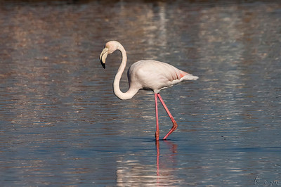 Flamingo (Phoenicopterus roseus). Adulto novo, ≈ 3 anos. Comparar com a foto anterior (adulto mais velho) Flamingo, adult (≈ 3 years). Compare with previous photo, older adult.