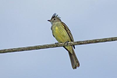 Southern Beardless-Tyrannulet (Panama)