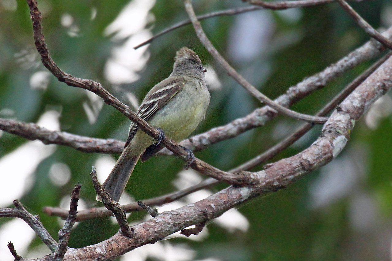 Yellow-bellied Elaenia (Panama)