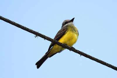 Tropical Kingbird (Panama)