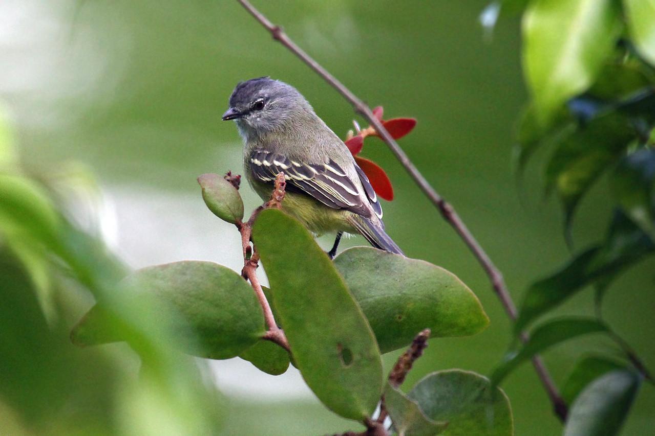 Forest Elaenia (Panama)