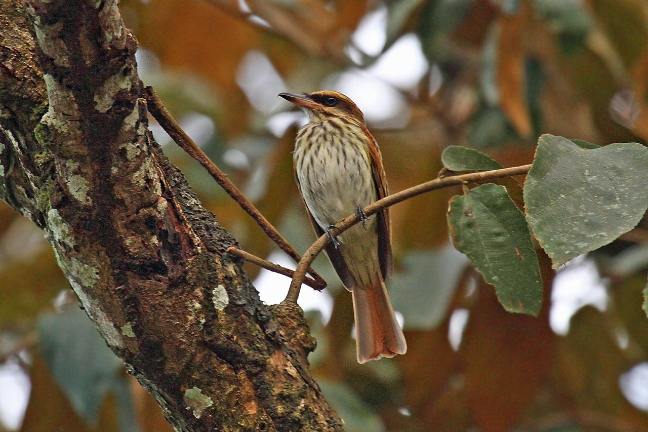 Streaked Flycatcher (Panama)
