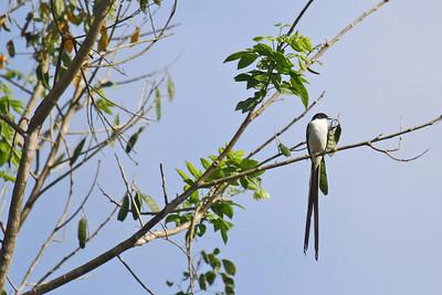 Fork-tailed Flycatcher (Panama)