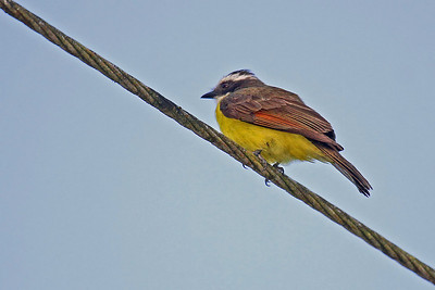 Rusty-margined Flycatcher (Panama)