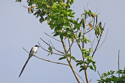 Fork-tailed Flycatcher (Panama)