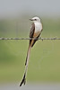 Scissor-tailed Flycatcher,<br /> Nordheim, Texas