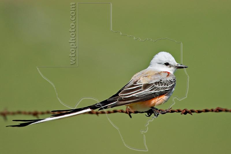 Scissor-tailed Flycatcher,<br /> Nordheim, Texas