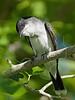 Eastern Kingbird,<br /> Galveston Island State Park, Texas