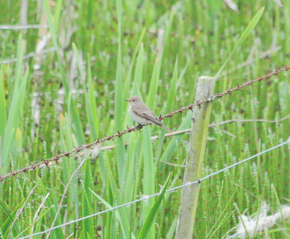 Spotted Flycatcher, Holy Island May 2012
