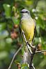 Couch's Kingbird,<br /> Galveston Island State Park, Texas