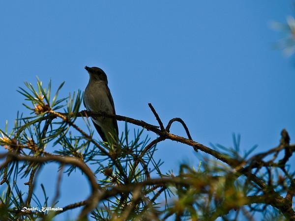 Little flycatcher