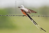 Scissor-tailed Flycatcher with Insect,<br /> Nordheim, Texas