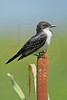 Eastern Kingbird,<br /> Brazoria National Wildlife Refuge, Texas