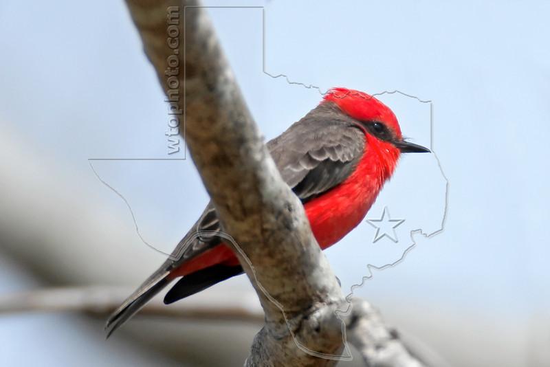 Vermilion Flycatcher, Male,<br /> Brazos Bend State Park, Texas