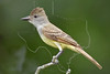 Ash-throated Flycatcher,<br /> Nordheim, Texas