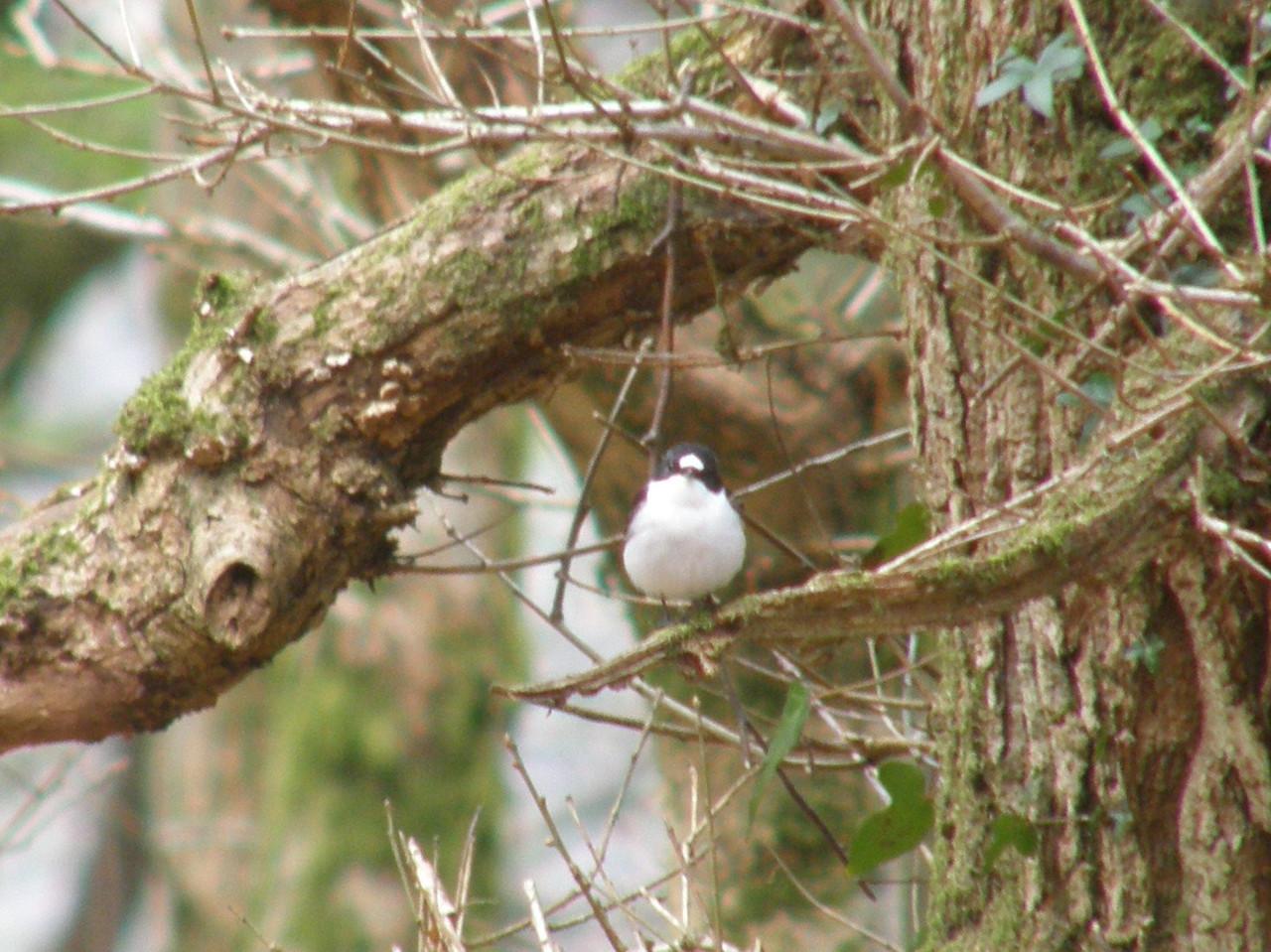 Pied Flycatcher Ybala Wales Apr 2009