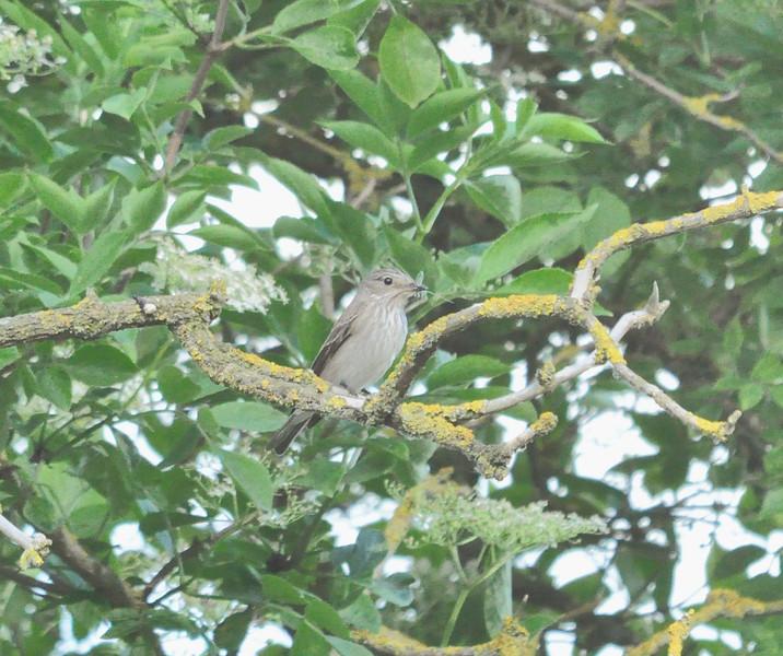 Spotted Flycatcher Wilstone June 2012