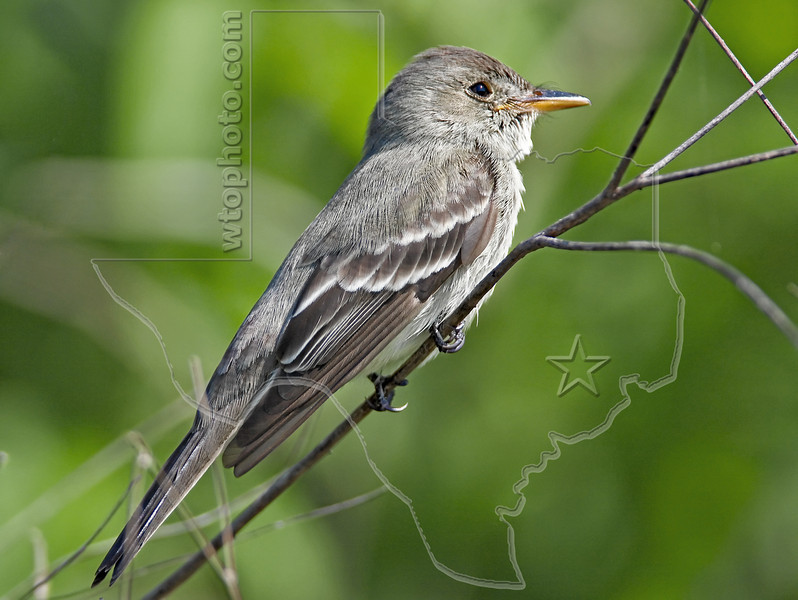 Eastern Wood-Pewee,<br /> Quintana Neotropical Bird Sanctuary, Freeport, Texas