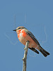 Vermilion Flycatcher, Immature Male,<br /> Brazos Bend State Park, Texas