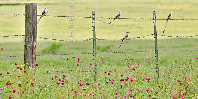 Scissor-tailed Flycatchers and Wildflowers,<br /> Nordheim, Texas