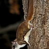 Flying Squirrel at Minong Wi- April 2012<br /> See Skin folds.