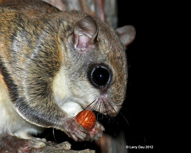 Flying Squirrels - Wisconsin 2012