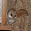 Flying Squirrel at Minong Wi- April 2012