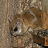 Flying Squirrel at Minong Wi- April 2012<br /> Note skin folds that expand for gliding flight.
