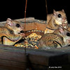 Mutiple Flying Squirrels at feeder 10/12/2012