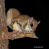 New Flying Squirrel image from 10/24/2012 ay Minong Wi at our cabin