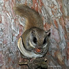 New Flying Squirrel image eating a peanut taken 10/24/2012 ay Minong Wi at our cabin