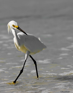 Egret At The Shore Line