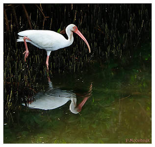 Deep In The Swamps- I found this Ibis with a good reflection